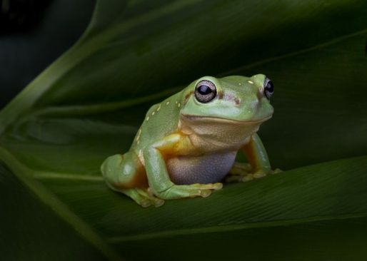 Magnificent_Tree_Frog